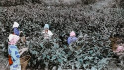 Women picking mulberry leaves.